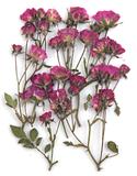 Pressed flowers, mauve roses leaves on stalk 20pcs floral art, resin craft