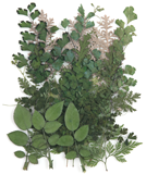 Pressed foliage, rose leaves, silver lace, adiantum balloon vine botanical art