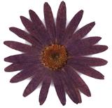 Pressed flowers, dark purple daisy 20pcs floral art resin craft scrapbooking