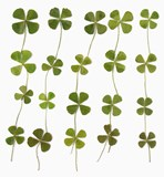 Pressed shamrock 20 pieces. Dried clover for art craft card making