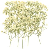 Pressed flowers, white baby breath gypsophila 20pcs floral art craft