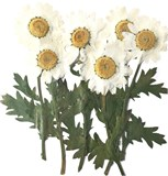 Pressed flowers, white daisy marguerite on stalk 10pcs, floral art craft