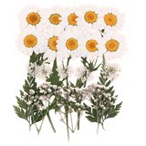 Pressed flowers, white daisy marguerite, baby's breath gypsophila lace flower
