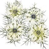 Pressed flowers, white nigellas 20pcs floral art, craft