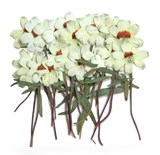 Pressed flower, white zinnia 20pcs for floral art craft card making scrapbooking