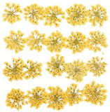Pressed flowers, Yellow Queen Anne's Lace flower 20pcs