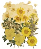 Pressed flowers mix, yellow marguerite daisy, pansy, rapeseed, alyssum foliage
