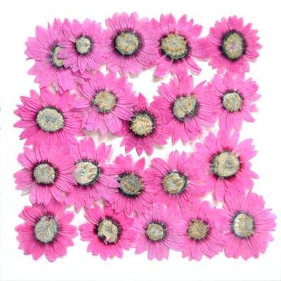 Pressed flowers, rhodanthe, pink paper daisy 20pcs