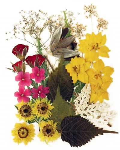 Pressed flowers, larkspur verbena apricot blossom rose buds lace flower borage