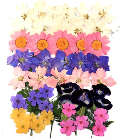 Pressed flowers mixed, larkspurs marguerite verbena torenia foliage