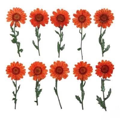 Pressed flowers , orange marguerite on stalk 20pcs