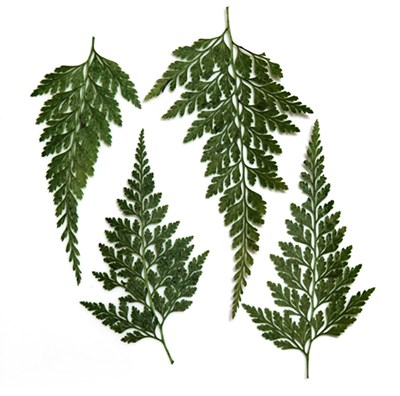 Pressed leaves, Asian Royal Fern 20pcs, craft, floral art, scrapbooking