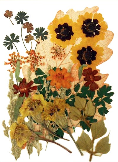 Pressed flowers mixed, garden tickseeds zinnia lace flowers marigold, foliage