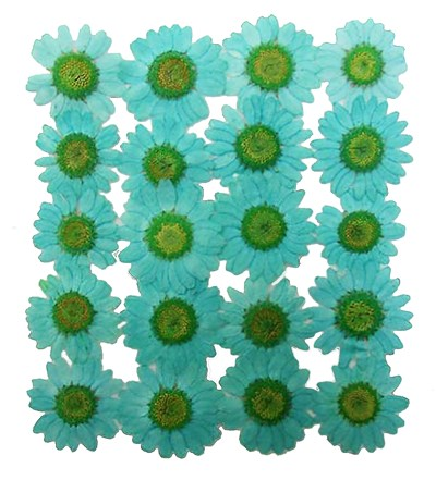 Pressed flowers, turquoise marguerite 20pcs, floral art, craft card making