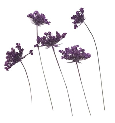 Pressed flowers purple Queen Anne's lace flowers on stalk 20pcs floral art