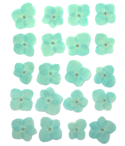 Pressed flowers, baby blue hydrangea 20pcs floral art resin craft
