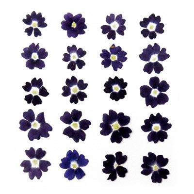 Pressed flowers, dark violet verbena 20pcs floral art craft