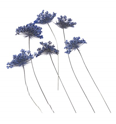 Pressed flowers, blue lace flowers on stem 20pcs floral art, craft