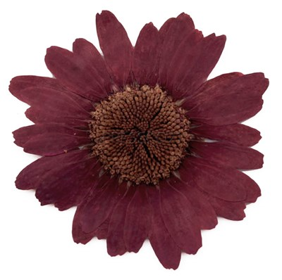 Pressed flowers large burgundy daisy 10pcs floral art craft