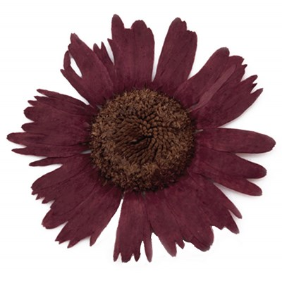 Pressed flower, natural dried burgundy marguerite daisy 20pcs