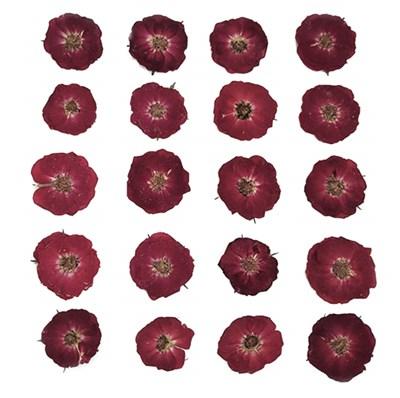 Pressed flowers, dark red roses 20pcs floral art craft