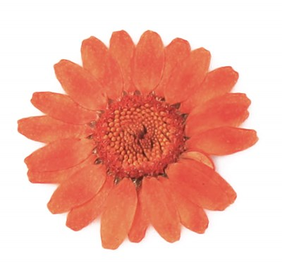 Pressed flowers dark orange marguerite  20pcs