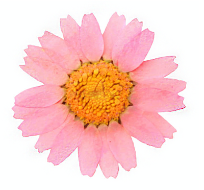 Pressed flowers, baby pink chrysanthemum marguerite 20pcs floral art, craft