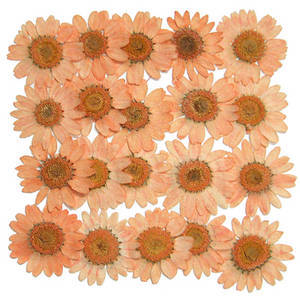 Pressed flowers, light orange marguerite 20pcs