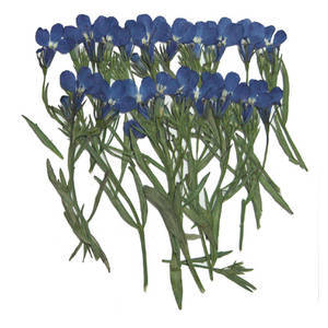 Pressed real dried flower pack, lobelia 20pcs for floral art, craft, card making