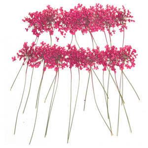 Pressed flower, pink lace flower on stalk 20pcs floral art craft