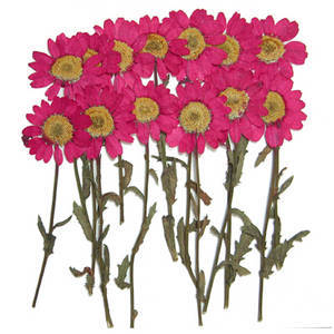 Pressed dried real flowers, Pink marguerite on stalk 20pcs for floral art craft