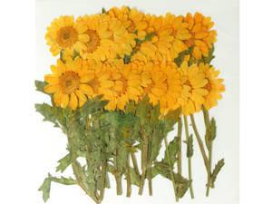 Pressed real dried flowers, dark yellow marguerite daisy chrysanthemum 20ppcs