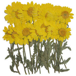 Pressed flowers 20pcs. Yellow marguerite on stalk floral art craft