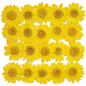 Pressed real dry flowers, light yellow marguerite daisy 20pcs floral art craft