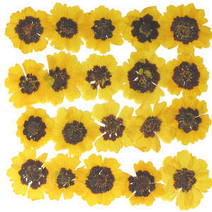 Pressed flowers, garden tickseeds, golden tickseeds 20pcs