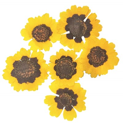 Pressed flowers, garden tickseeds 20pcs floral art, craft