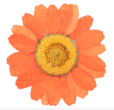 Pressed flowers, light orange marguerite daisy 20pcs floral art, resin craft