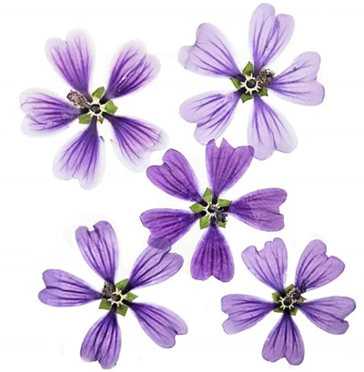 Pressed flowers, purple mallow flowers 12pcs for floral art, craft