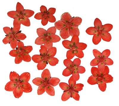 Pressed flowers, dark orange marsh grass of Parnassus 15pcs floral art craft