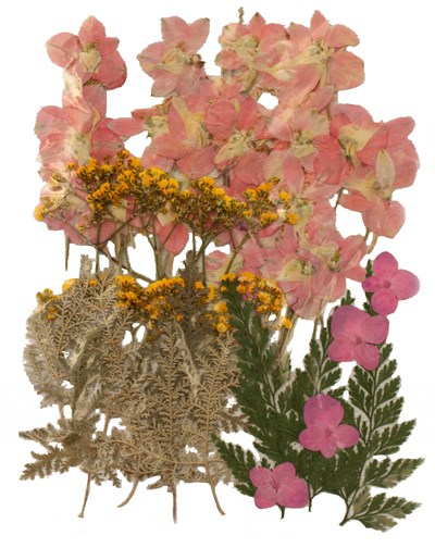 Pressed flowers, larkspur, baby breath, hydrangea, foliage mixed