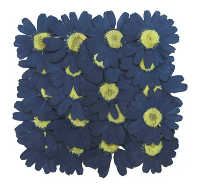 Pressed flowers, navy marguerite 20pcs floral art, craft, card making