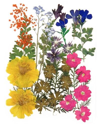 Pressed flowers cosmos lace flower forget me not star flower verbena lobelia