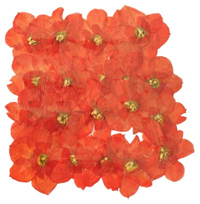 Pressed flowers, dark orange Daffodils 20 pieces. Card making, scrapbooking, art