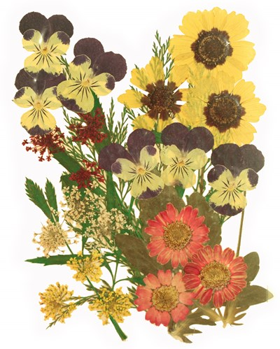 Pressed flowers, pansy marguerite daisy lace flowers foliage