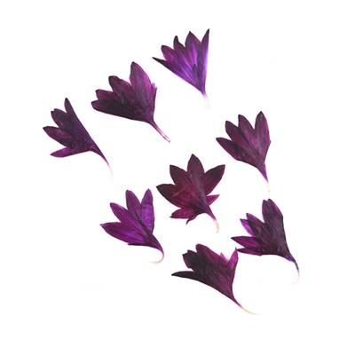 Pressed flowers , dark purple cornflower 20pcs floral art, resin craft