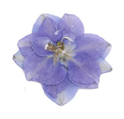 Pressed flowers, light violet larkspur 20pcs floral art, craft, card making