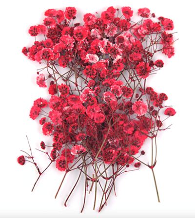 Pressed flowers, red baby's breath gypsophila 20pcs for floral art craft