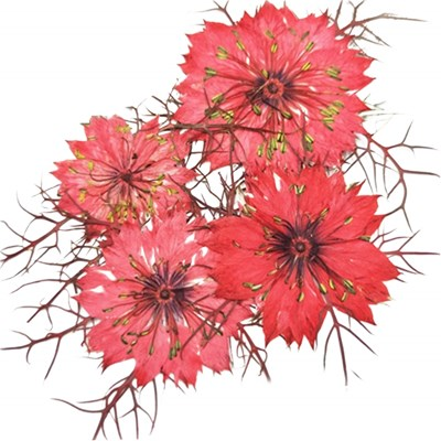 Pressed flowers, red nigellas 20pcs floral art, craft