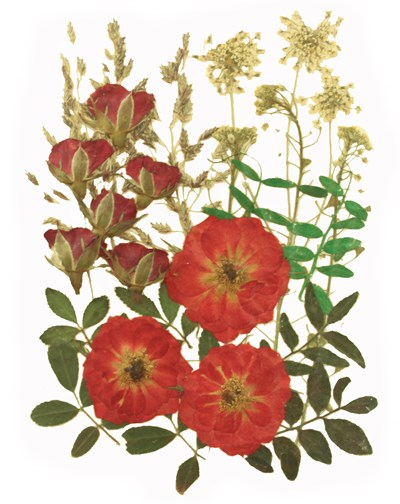 Pressed flowers, fully bloomed red roses alyssum lace flower rose buds foliage