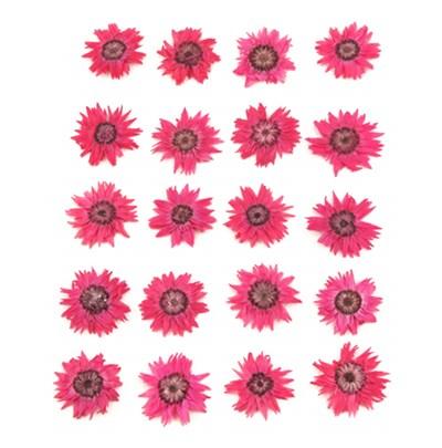 Pressed flowers hot pink rodanthe 20pcs floral art craft